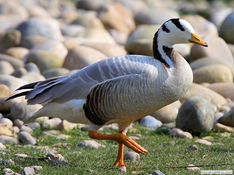 identify bar-headed goose