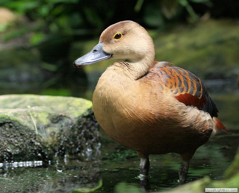 Lesser whistling duck - photo#26